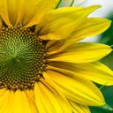 Close up of a bright yellow sunflower