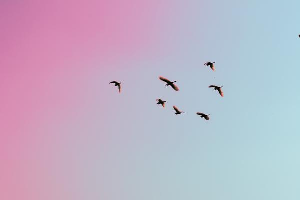 A flock of birds flying against a pink and blue evening sky