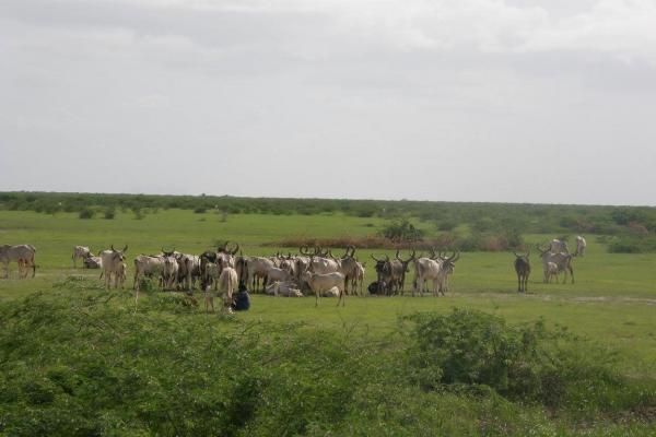 cows graze on grassland in western india